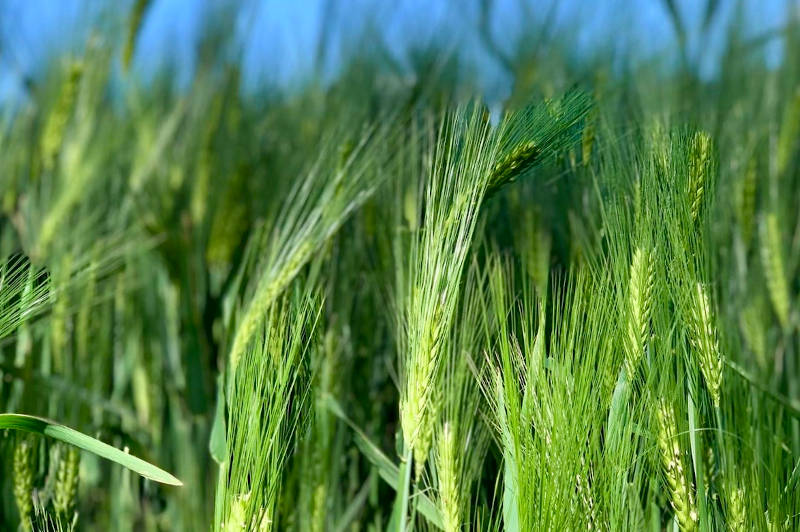 melinaturelle-blé